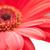vermelho · flor · isolado · branco · natureza - foto stock © prill