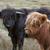 gado · prado · vaca · fazenda · touro · escócia - foto stock © prill