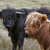 vee · achter · hek · koe · boerderij · voorraad - stockfoto © prill