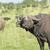 iki · Güney · Afrika · doğa · çift - stok fotoğraf © prill