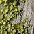 bluszcz · drzewo · kory · charakter · liści · tle - zdjęcia stock © prill