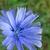 blue chicory flower stock photo © prill
