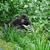 gorilla in green vegetation stock photo © prill