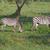 zebrák · Uganda · Afrika · fa · természet · ló - stock fotó © prill
