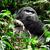 goril · bulut · orman · dağ · Uganda · Afrika - stok fotoğraf © prill