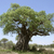 old baobab tree stock photo © prill