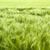 barley field detail stock photo © prill