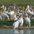 lots of great white pelicans stock photo © prill