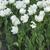 tulipán · flores · blanco · primavera · amor - foto stock © Pruser