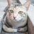 シャム猫 · グレー · スタジオ · 猫 - ストックフォト © punsayaporn