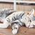 gato · siamês · mesa · de · madeira · estoque · foto · retrato · preto - foto stock © punsayaporn