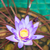 close up violet lotus in the pool stock photo © punsayaporn
