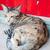 сиамские · кошки · серый · студию · кошки - Сток-фото © punsayaporn