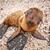 baby galapagos sea lion looking at the camera stock photo © pxhidalgo