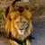выстрел · лев · рот · Африка · голову - Сток-фото © pxhidalgo