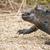 óriás · teknős · Ecuador · dél-amerika · szigetek · étel - stock fotó © pxhidalgo