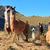 alpacas at the pasochoa volcano ecuador stock photo © pxhidalgo