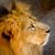 sudoeste · africano · leão · adulto · masculino · cativeiro - foto stock © pxhidalgo