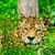 jaguar · kamera · çim · gözler - stok fotoğraf © pxhidalgo