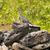 leguaan · boom · kruipen · poseren · dier · mannelijke - stockfoto © pxhidalgo
