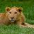 lion cub lying alone in the grass stock photo © pxhidalgo