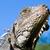 土地 · イグアナ · 自然 · トカゲ · スケール · ファウナ - ストックフォト © pxhidalgo