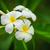 белый · Blossom · природного · символ · цветочный - Сток-фото © pzaxe