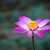 lotus · gölet · arka · plan · Çin - stok fotoğraf © pzaxe