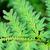 красивой · пышный · папоротник · зеленый · капли · воды - Сток-фото © pzaxe