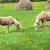 lovak · eszik · széna · farm · jelenet · természet - stock fotó © pzaxe