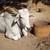 скота · корова · песчаный · землю - Сток-фото © pzaxe