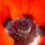 virágzó · piros · pipacs · közelkép · mag · gyönyörű - stock fotó © pzaxe