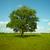solitário · carvalho · prado · Hungria · árvore · verão - foto stock © pzaxe