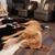 cansado · perro · dormir · piso · salón · casa - foto stock © Quasarphoto