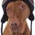 cão · de · caça · estúdio · retrato · seis · húngaro - foto stock © quasarphoto