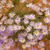 紫色 · 野草 · 開花 · 砂漠 · 砂利 · 自然 - ストックフォト © quasarphoto