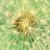 dandelion interior close up of seeds stock photo © radub85