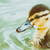 baby duck bird swimming on water stock photo © radub85