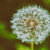 dandelion · flor · primavera · fundo · verde - foto stock © radub85