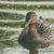 wild female duck swimming on water stock photo © radub85