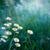 Ромашки · утра · необычный · красивой · цветок · семьи - Сток-фото © rafalstachura