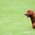 poodle · cão · corrida · brinquedo · boca - foto stock © raywoo