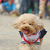 poodle dog running stock photo © raywoo