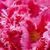 rosa · explosão · belo · flor · primavera - foto stock © RazvanPhotography