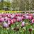 tulipa · jardim · colorido · imagem · primavera · páscoa - foto stock © RazvanPhotography