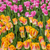 tulipas · ver · campo · colorido · jardim · primavera - foto stock © RazvanPhotography