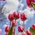 dentro · tulipas · campo · imagem · primavera - foto stock © RazvanPhotography