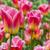 tulipas · belo · rosa · tulipa · campo - foto stock © RazvanPhotography