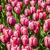 vermelho · tulipas · ver · campo · jardim · primavera - foto stock © RazvanPhotography