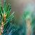 pino · ramoscello · macro · primo · piano · bud · verde - foto d'archivio © razvanphotography